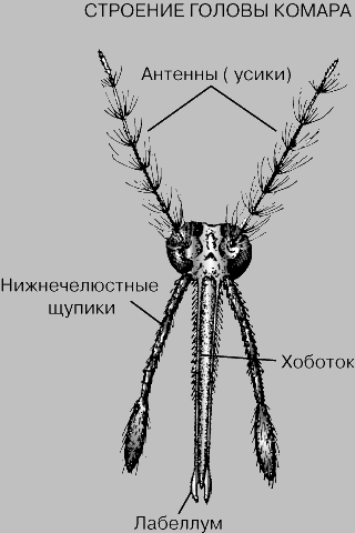 Строение головы комара.  Голова самки малярийного комара (Anopheles).