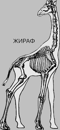 скелет жирафа фото