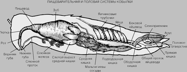 Пищеварительная и половая система кобылки