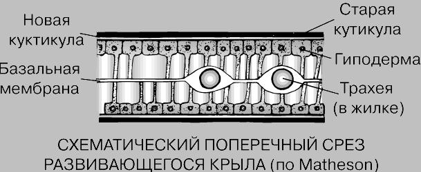 Схематический поперечный разрез развивающегося крыла