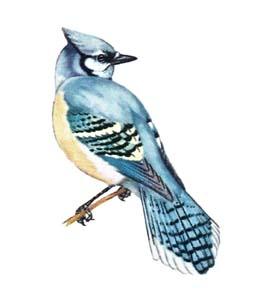 Птицы лесов голубая сойка