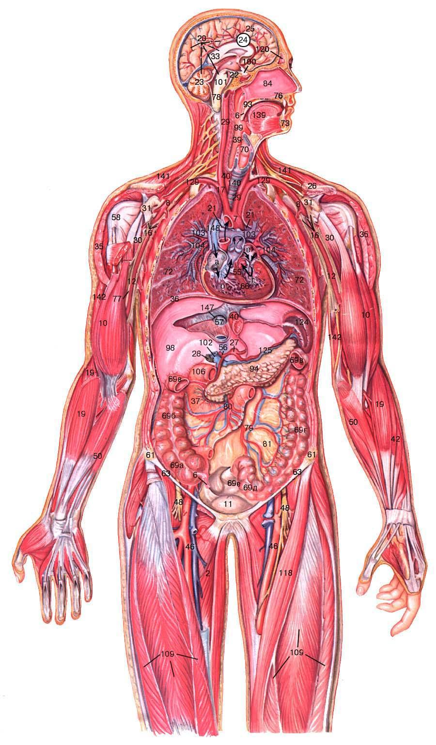 Всем организмы человека картинка
