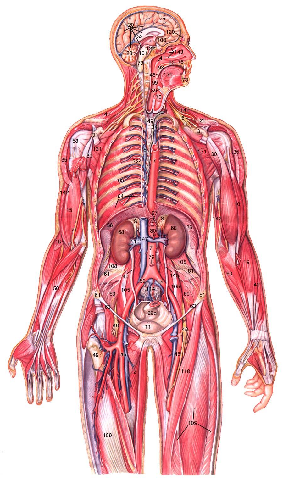 Уроки по анатомии половых органов наглядно 1 фотография