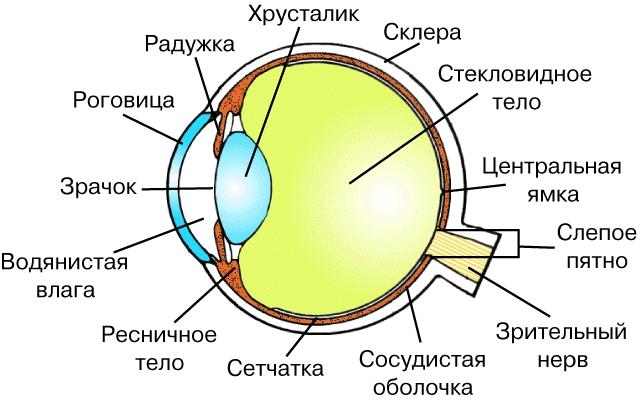 картинки строение глаза