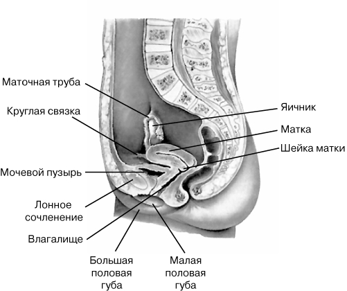 Оплодотворение яйцеклетки член во влагалище