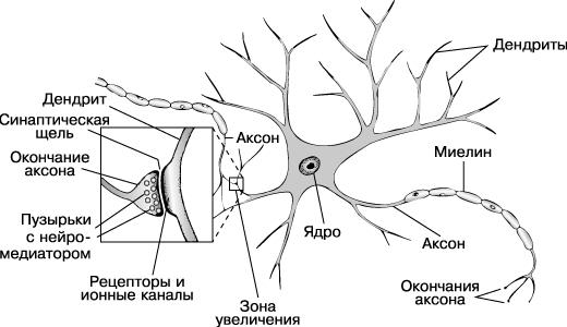 НЕРВНЫЕ КЛЕТКИ мозга передают