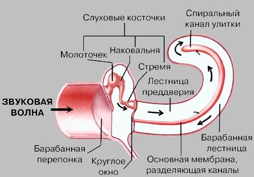 орган слуха (на схеме