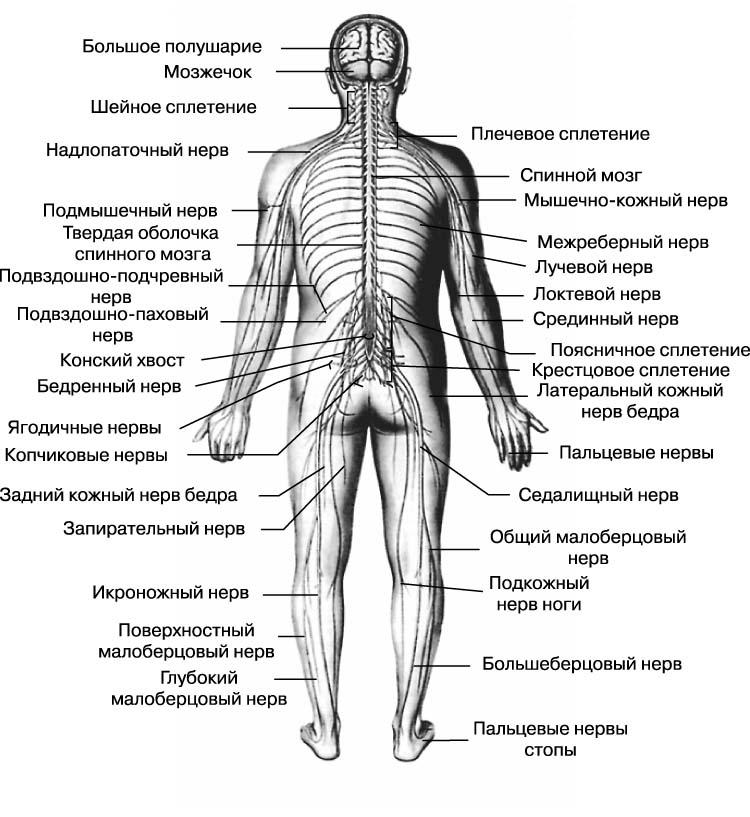 Система Нервная Периферическая фото