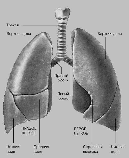 ДЫХАНИЯ ОРГАНЫ... Рак легких.