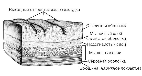 СТЕНКА ЖЕЛУДКА (схема