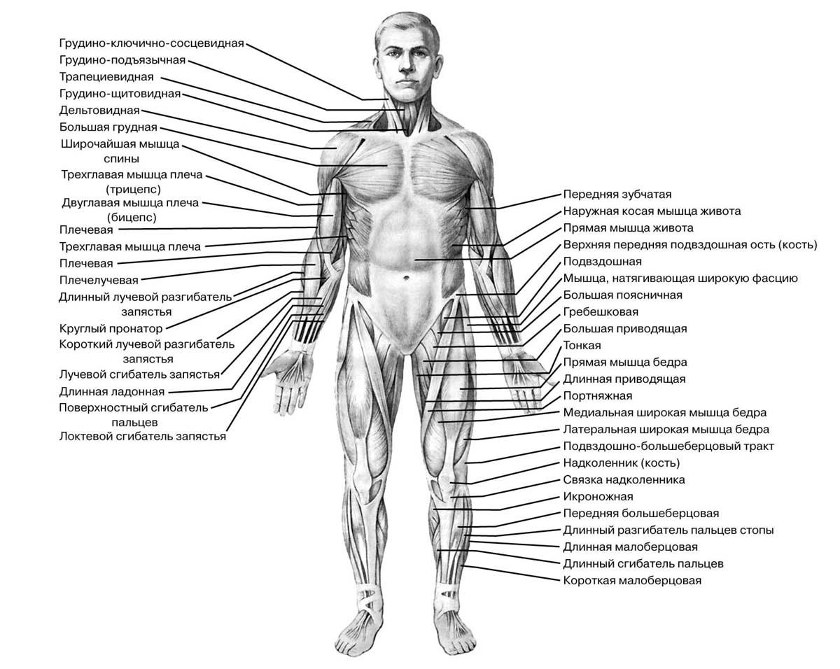 Все о мышцах человека скачать книгу