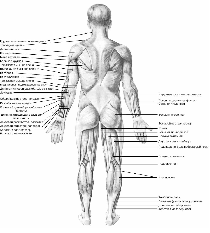 Мышца непроизвольная фото