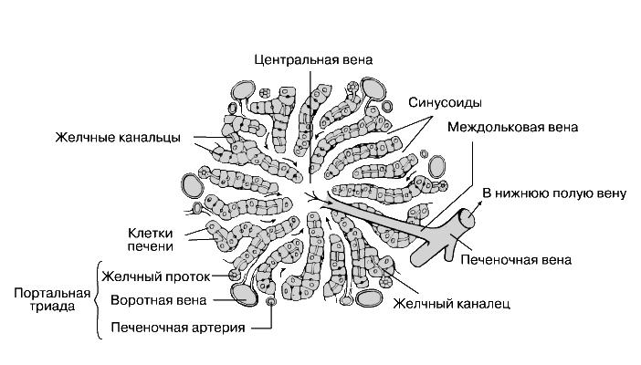 ПЕЧЕНЬ.