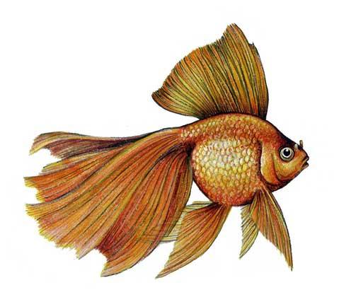 Рисунок золотой рыбки должен