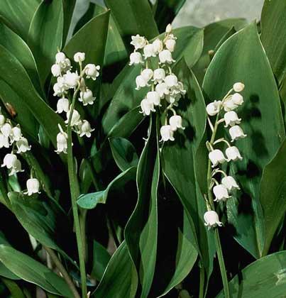 Ландыш майский ( от латинского Convallaria majalis L.) происходит из семейства лилейных, представляет собой...