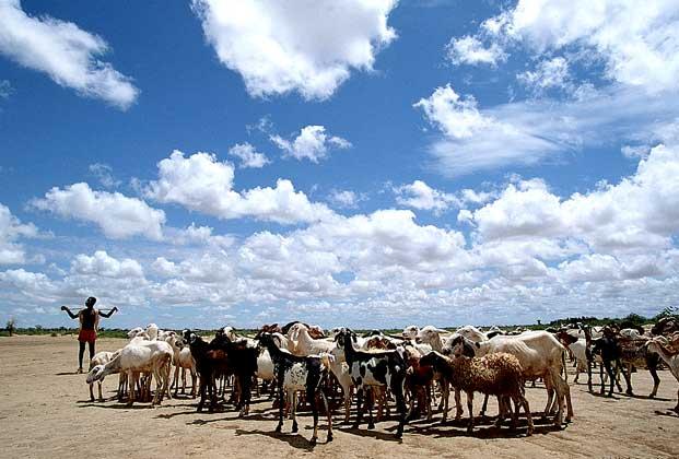 РАЗВЕДЕНИЕ ДОМАШНЕГО СКОТА - традиционный сектор экономики Мали.