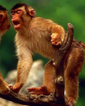 обезьяна с большим членом