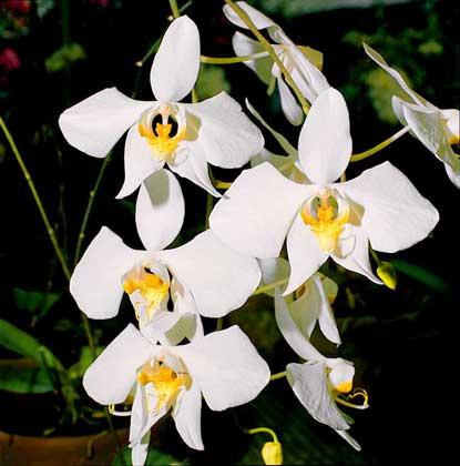 Орхидеи рода phalaenopsis называют