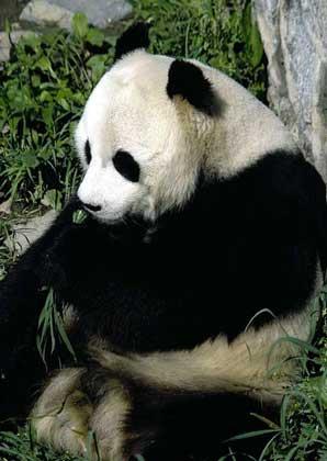 БОЛЬШАЯ ПАНДА - похожий на медведя зверь, населяющий густые бамбуковые леса в горах на западе Китая.