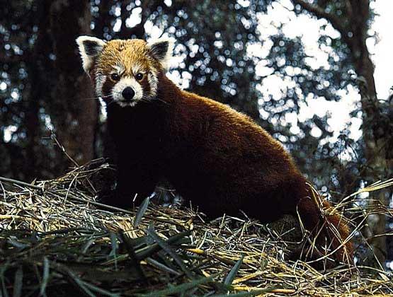 МАЛАЯ ПАНДА - ночной зверек, в светлое время суток спящий на деревьях.