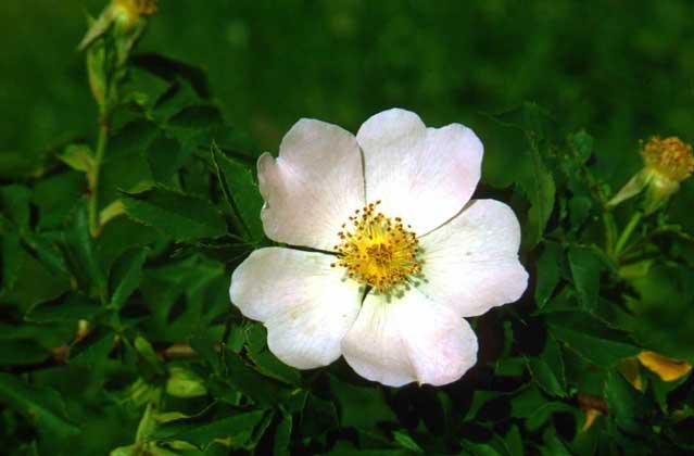 Розы относятся к самым разнообразным