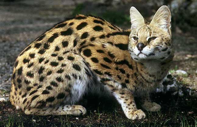 Felidae), семейство млекопитающих отряда хищных.  У кошачьих мускулистое, покрытое густым мехом тело.