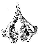 Рис. 131. Глоточные зубы