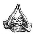 Рис. 154. Глоточные зубы ельца.