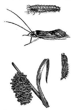 Рис. 155. Мошкара (Phryganea) и ее личинки.