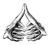 Рис.159. Глоточные зубы язя.