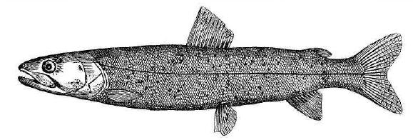 Рис. 74. Дунайский лосось.
