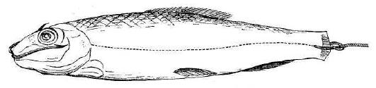 Рис. 95. Насаживание мертвой рыбки по способу Пэнэля.