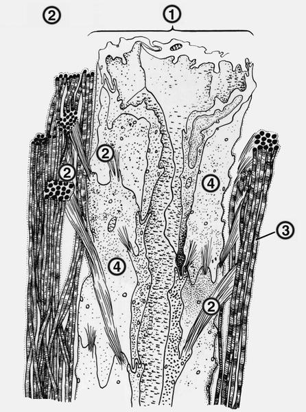 Рис. 2. Схема строения лимфатического капилляра: 1- лимфатический капилляр (на разрезе); 2- атропные (якорные)...