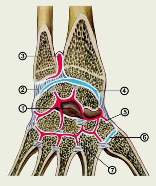 ...нижний лучелоктевой сустав; 4 - лучезапястный сустав...