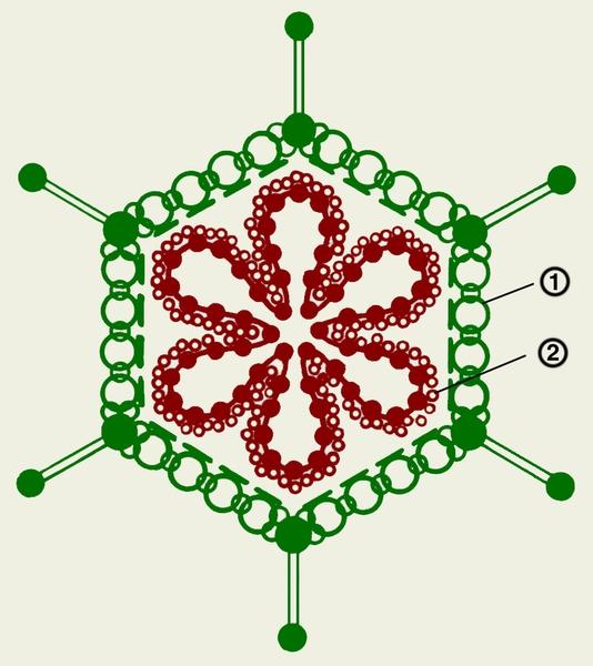 Схема строения аденовируса: 1