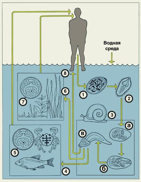 Трематодозы I Трематодо?зы (trematodoses) гельминтозы, вызываемые плоскими червями - трематодами (сосальщиками или...