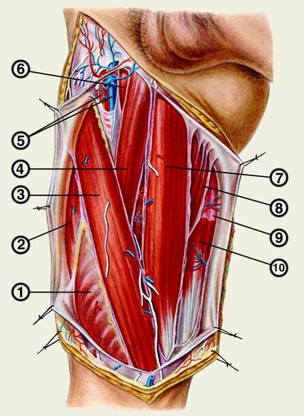 5 — бедренные артерия и