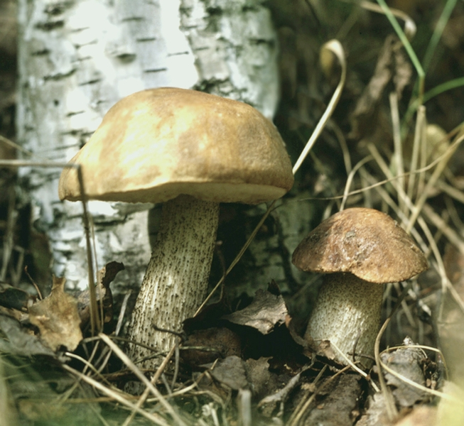 картинка гриб подберезовик под березой живут человеком