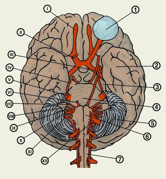 Нервы черепные фото