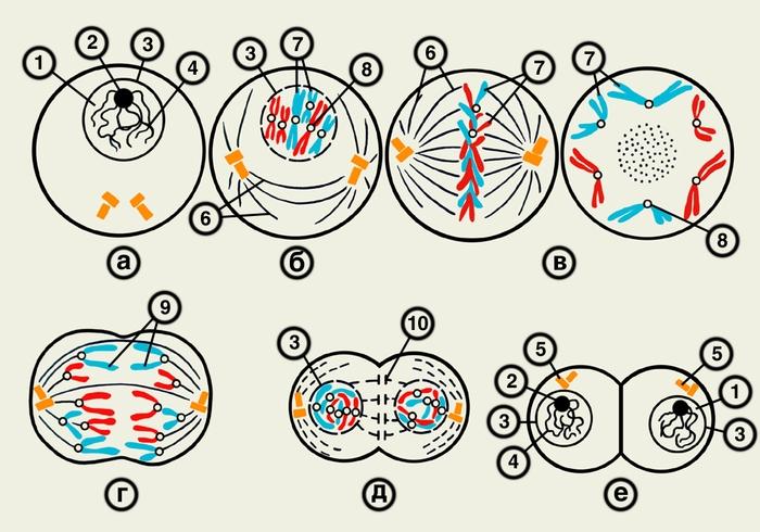 Схема митотического деления