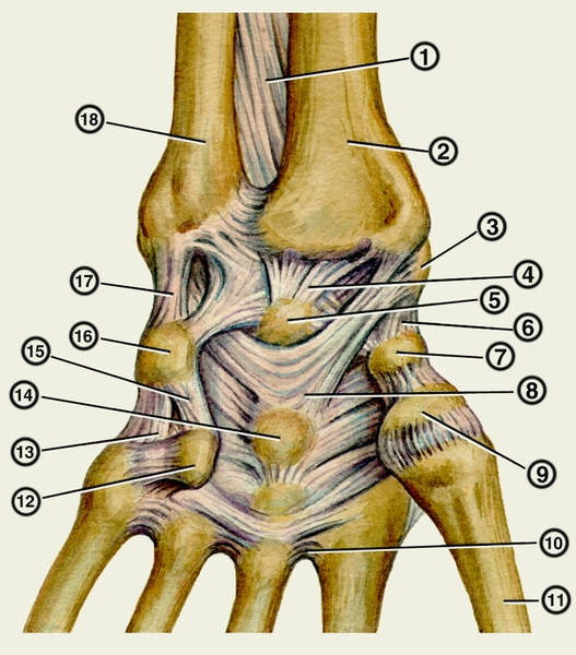 Анатомия лучезапястного сустав.  Связки левой кисти.