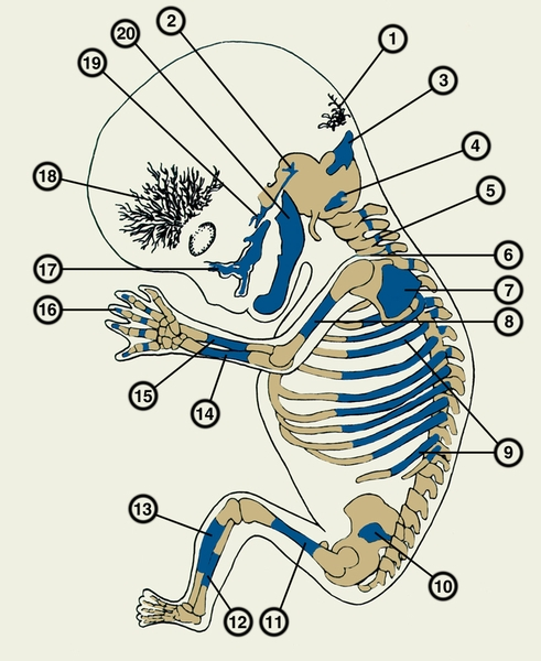 зародыша человека на 3
