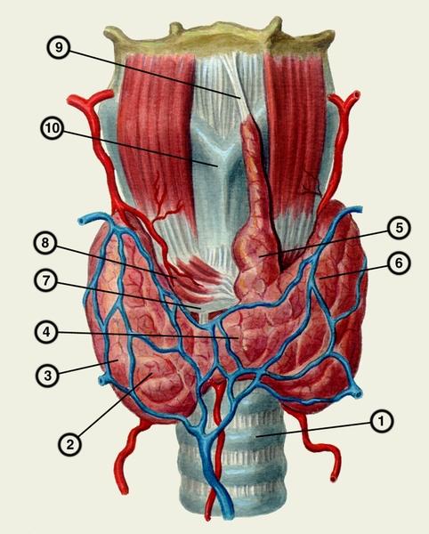 Схема анатомических взаимоотношений щитовидной железы с трахеей и гортанью: 1- трахея; 2- правая доля щитовидной...