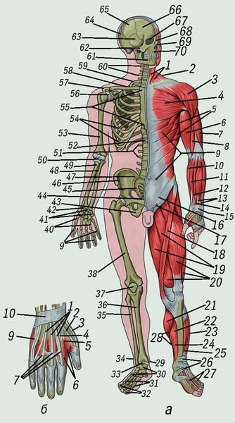 Мышцы - это.
