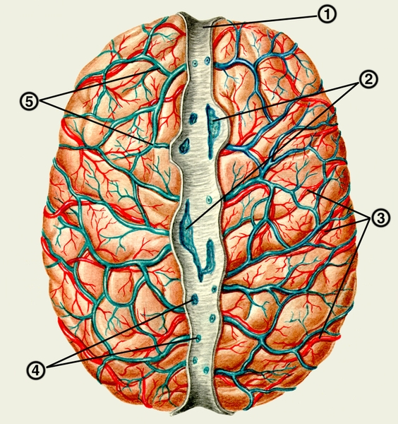 Сосудистый рисунок головного мозга