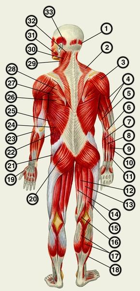 Мышцы человека (вид сзади): 1