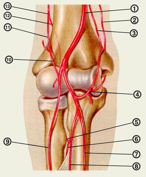 артерия; 2 — верхняя локтевая