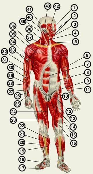 Мышцы человека» (вид спереди):