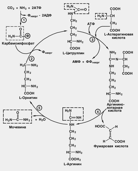 Рис. Схема цикла мочевины:
