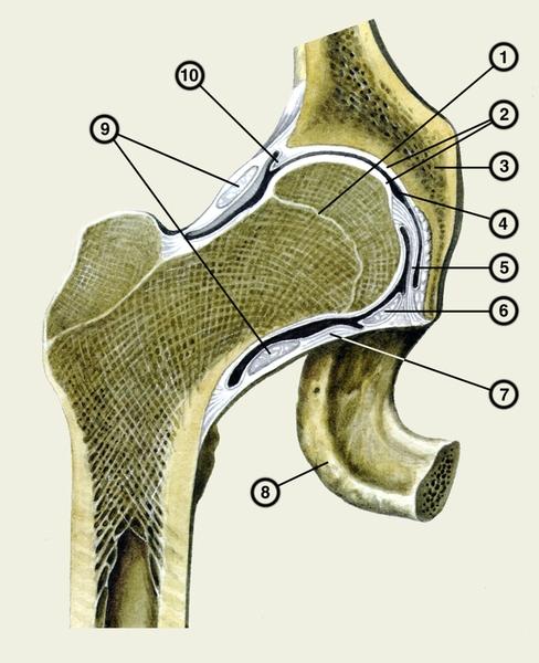 Рис. 1. Правый тазобедренный сустав (фронтальный распил): 1...
